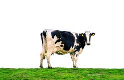 站立在绿色领域的母牛 在白色背景隔绝的母牛 免版税库存图片