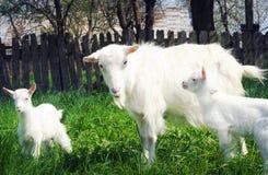 站立在绿草中的三只白色山羊 免版税图库摄影
