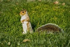 站立在绿草的后腿的一只布朗灰鼠 免版税库存图片