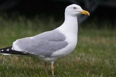 站立在绿草的大海鸥 免版税库存图片