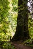 站立在美国加州红杉树旁边的人 库存照片