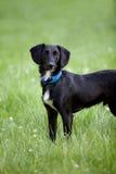 站立在美国钞票草的黑白狗混合狗 免版税图库摄影