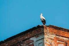 站立在老被破坏的东正教墙壁上的欧洲白色鹳  库存图片