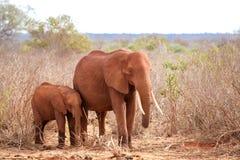 站立在肯尼亚的草原的大象,徒步旅行队的 免版税库存图片