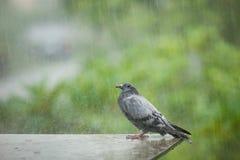 站立在艰苦下雨中的孤独的无家可归的鸽子鸟 库存图片