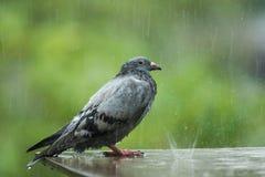站立在艰苦下雨中的孤独的无家可归的鸽子鸟 免版税图库摄影
