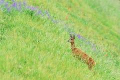 站立在花之间的高草的一只孤立狍 免版税库存图片