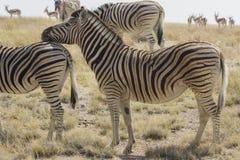 站立在草原的平原斑马在埃托沙国家公园,纳米比亚 库存照片