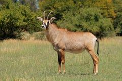 站立在草原的软羊皮的羚羊 免版税库存照片