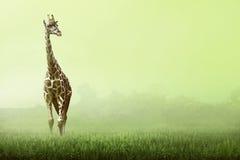 站立在草原的Girrafe 免版税图库摄影