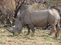 非洲白色犀牛 免版税库存照片