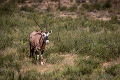 站立在草和看的羚羊属 免版税库存图片