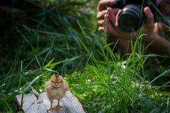 站立在草和被拍摄的婴孩小鸡 免版税库存照片