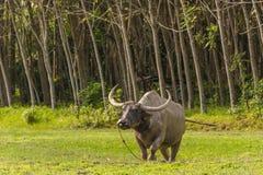 站立在草地的泰国水牛在Phang Nga,泰国 免版税库存图片