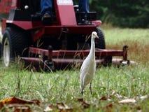 站立在草坪的白色苍鹭 图库摄影