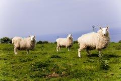 站立在草甸山小山的三只白羊 观点的绵羊在乡下 在山的绿色领域与grazi 免版税库存照片