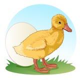 站立在草甸的小的蓬松鸭子在鸡蛋旁边 向量 免版税库存图片