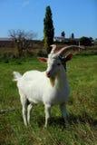 站立在草甸的幼小山羊 库存照片