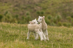 站立在草甸的新出生的羊羔 免版税库存图片