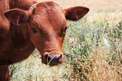 站立在草甸的母牛 库存照片