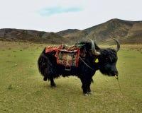 站立在草甸的牦牛 免版税库存照片