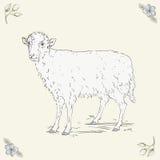站立在草甸的绵羊 库存照片