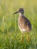站立在草甸的黑被盯梢的黑尾豫趟水者鸟小鸡 免版税库存图片
