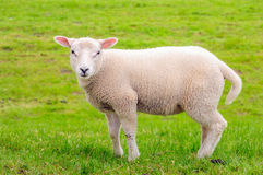 站立在草甸的litte羊羔的画象 免版税库存照片