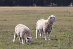 站立在草甸,新西兰的两只绵羊 免版税库存照片