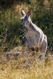 站立在草的一只红色袋鼠 免版税库存图片
