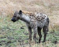 站立在草的一条唯一鬣狗的Sideview 免版税图库摄影
