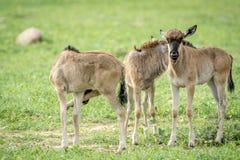 站立在草的三头蓝色角马小牛 免版税库存图片