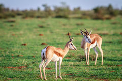 站立在草的两只跳羚 库存照片