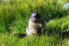 站立在草的后腿的土拨鼠 免版税库存图片