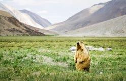 站立在草的喜马拉雅土拨鼠 免版税库存图片