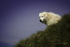站立在草的小山的白色狗头 免版税库存照片