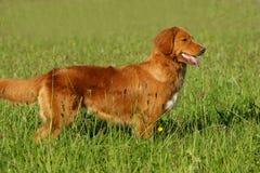 站立在草的新斯科舍鸭子敲的猎犬 免版税库存照片