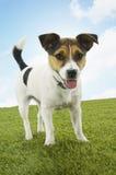 站立在草的杰克罗素狗反对天空 库存图片