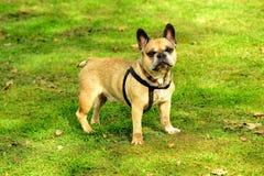 站立在草的法国牛头犬 免版税库存图片