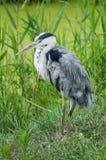 站立在草的灰色苍鹭 免版税库存照片