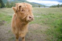 站立在草的金黄美丽的高地长毛的母牛 免版税库存图片