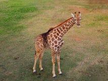 站立在草的长颈鹿 狮子公园 非洲著名kanonkop山临近美丽如画的南春天葡萄园 库存图片