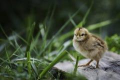 站立在草的婴孩小鸡 免版税库存图片