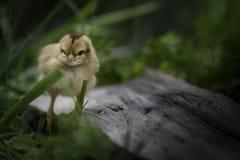 站立在草的婴孩小鸡 库存照片