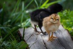 站立在草的婴孩小鸡 图库摄影
