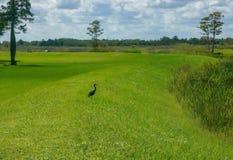 站立在草的黑苍鹭 免版税库存照片