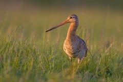 站立在草的黑被盯梢的黑尾豫趟水者鸟 库存照片