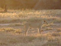 雌狮和崽 免版税库存图片
