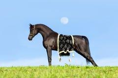 站立在蓝天的美丽的黑马 免版税库存照片
