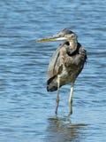 站立在蓝色湖水中的伟大蓝色的苍鹭的巢 免版税库存照片
